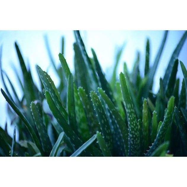 Productos de Aloe Vera : Productos de Centro de Bienestar Ludi