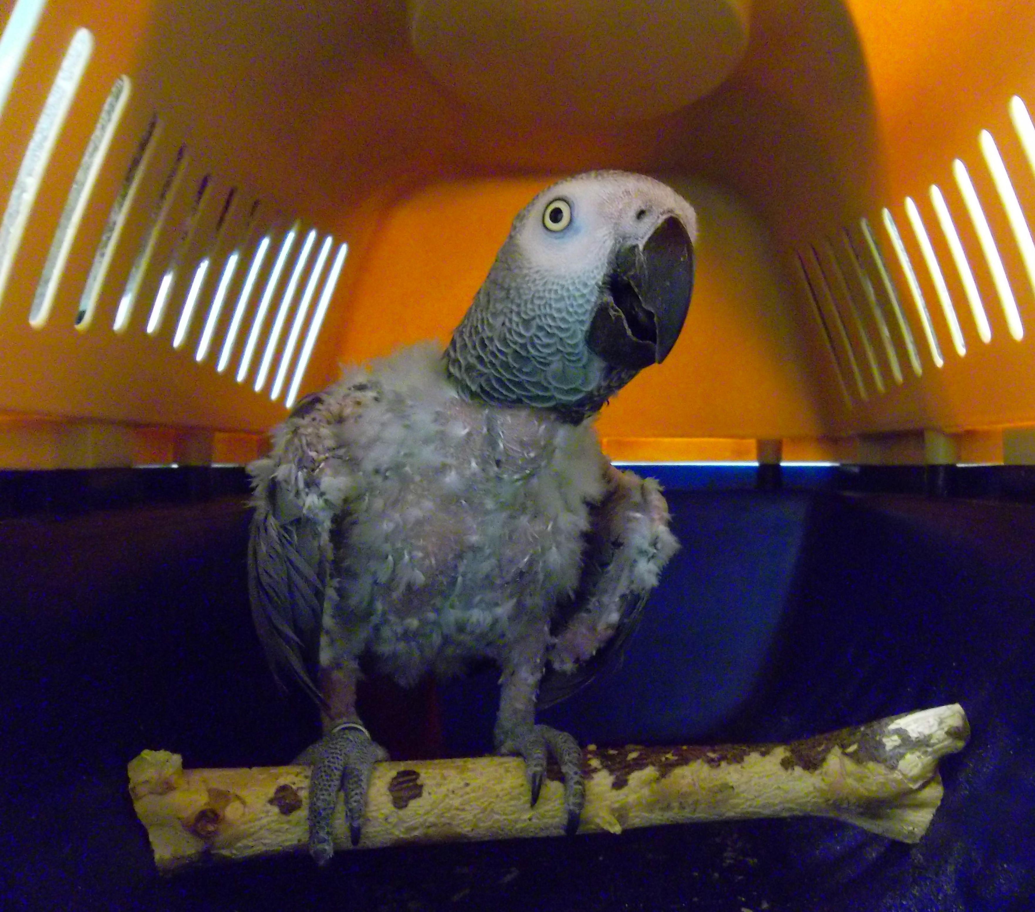 Yako con picaje