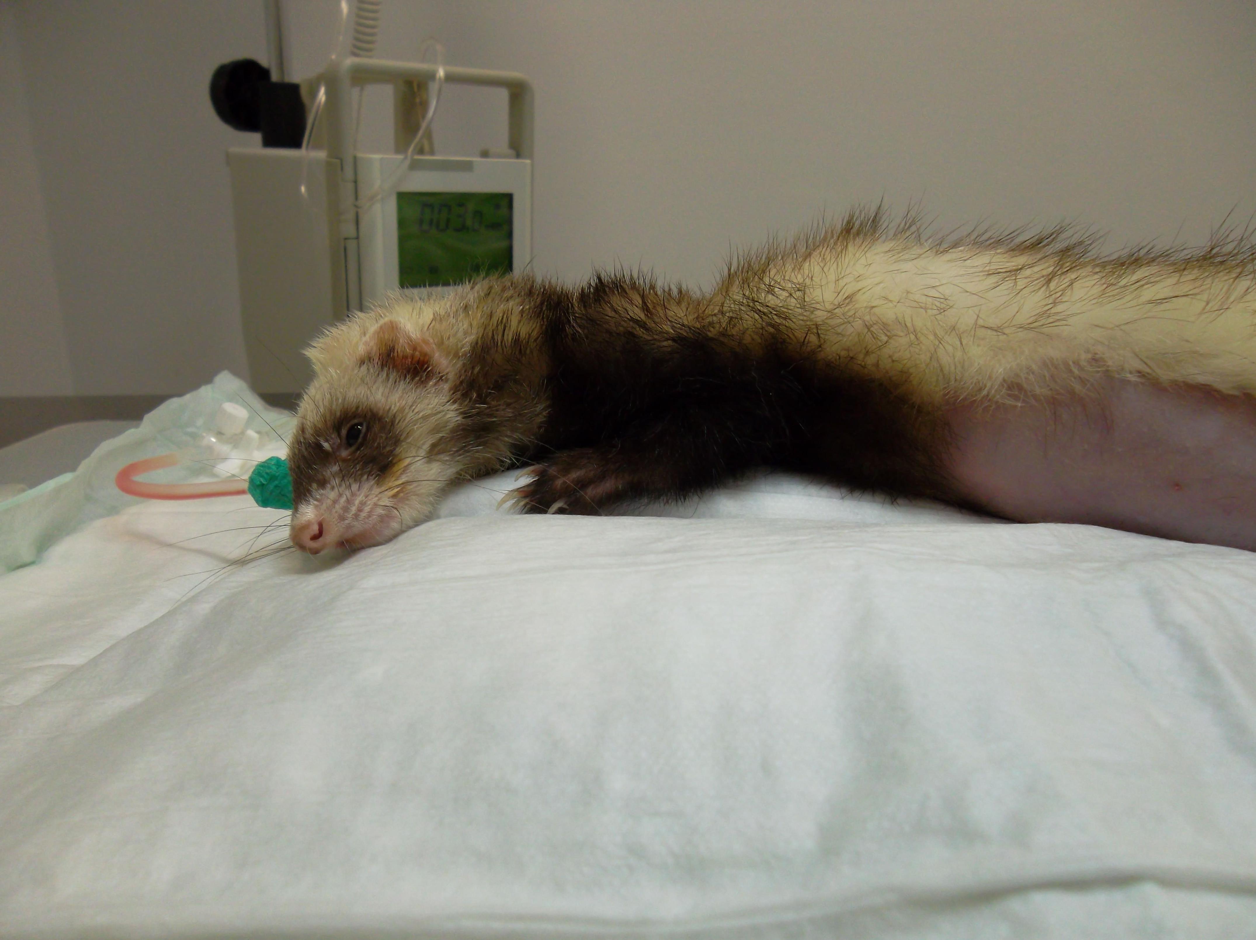 Cirugía de animales exóticos en la clínica veterinaria Selvática