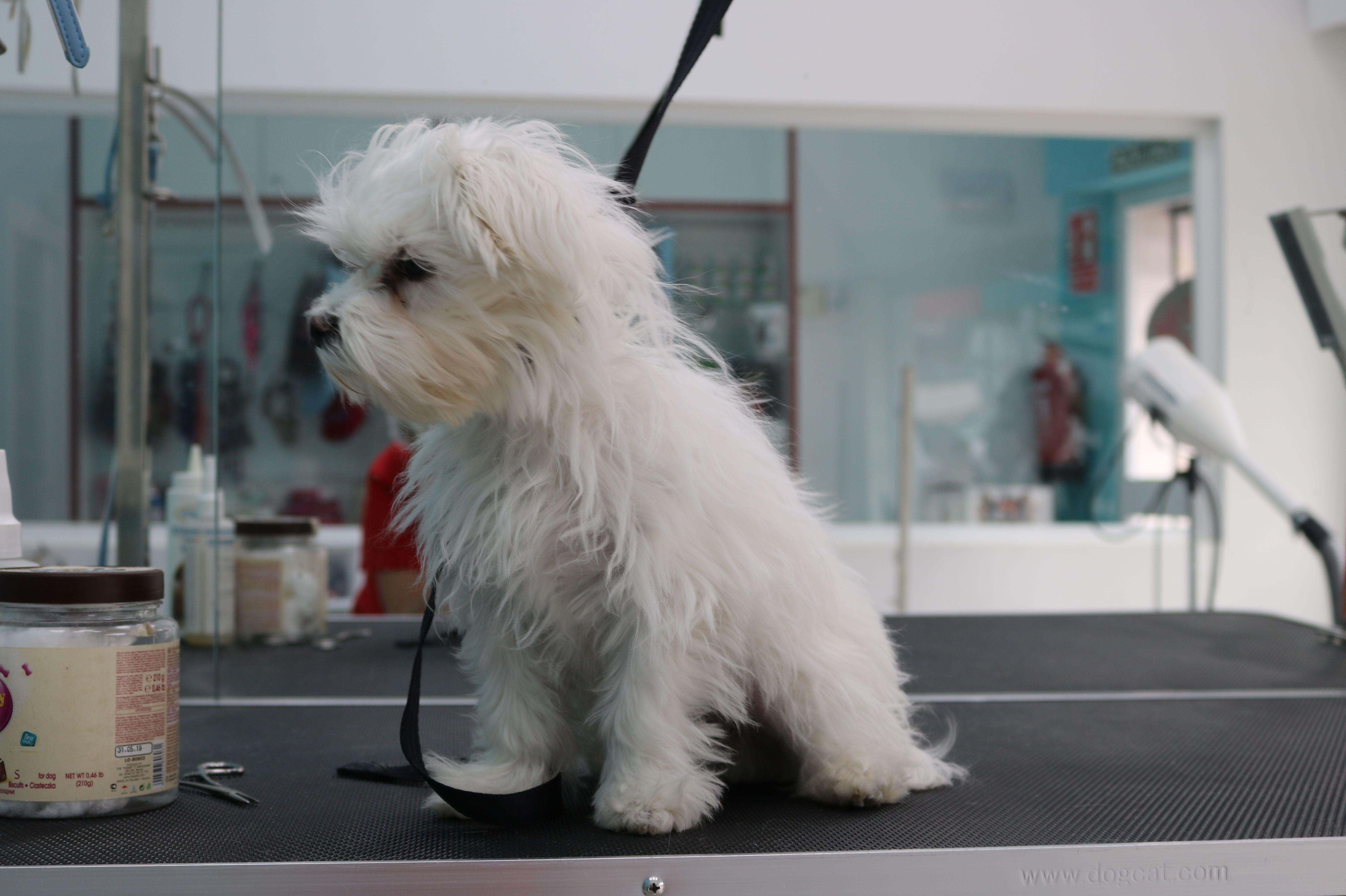 Valentino, en su primera sesión de peluquería es muy importante acostumbrar a nuestras pequeñas mascotas a su sesión de peluquería. Para una mascota que va a la peluquería regularmente para su aseo es un momento de relax para ellos. ¡Reserva tu cita!