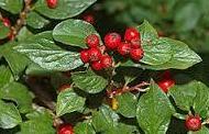 Cotoneaster racemiflorus Ref. 18 ( Arbusto )
