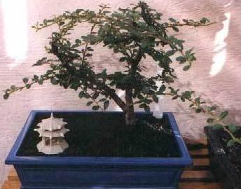 COTONEASTER HORIZONTALIS Ref. 6 ( Arbusto )