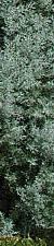 Cipres arizonica Ref 1 Arboles