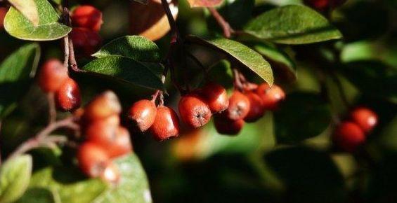 Cotoneaster franchetii Ref. 4 (  Arbusto  )
