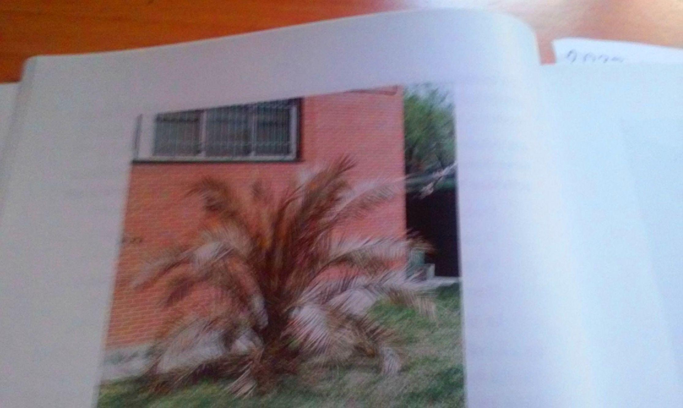 1VEGETACIÓN COMPLETAMENTE ARRASADA POR EFECTO DE UNA INMENSA HELADA INVERNAL SOBRE UNA PALMERA ( Phoenix canari.jpg