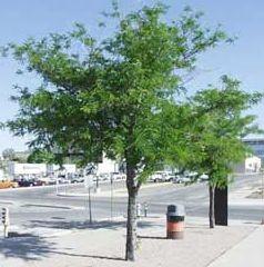 Acacia tres púas