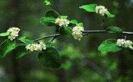 Cotoneaster granatensis Ref.5 ( Arbusto )1