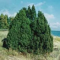 Enebro comun Ref,19 ( Arbusto )