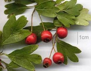 Acerola  Ref. 1