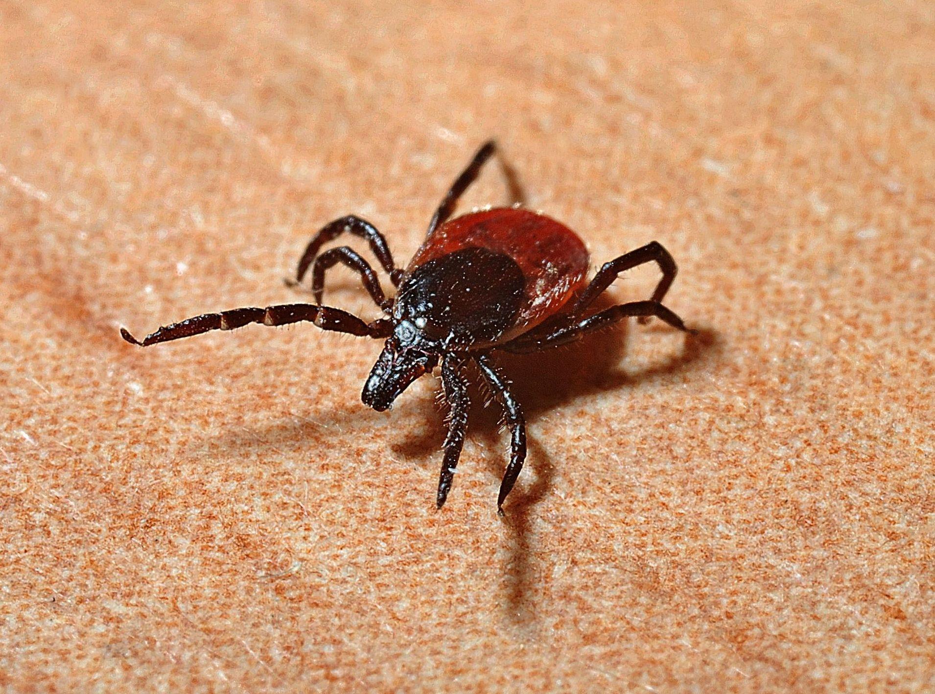 Alertan de una plaga de garrapatas en España este verano, incluso en ciudades