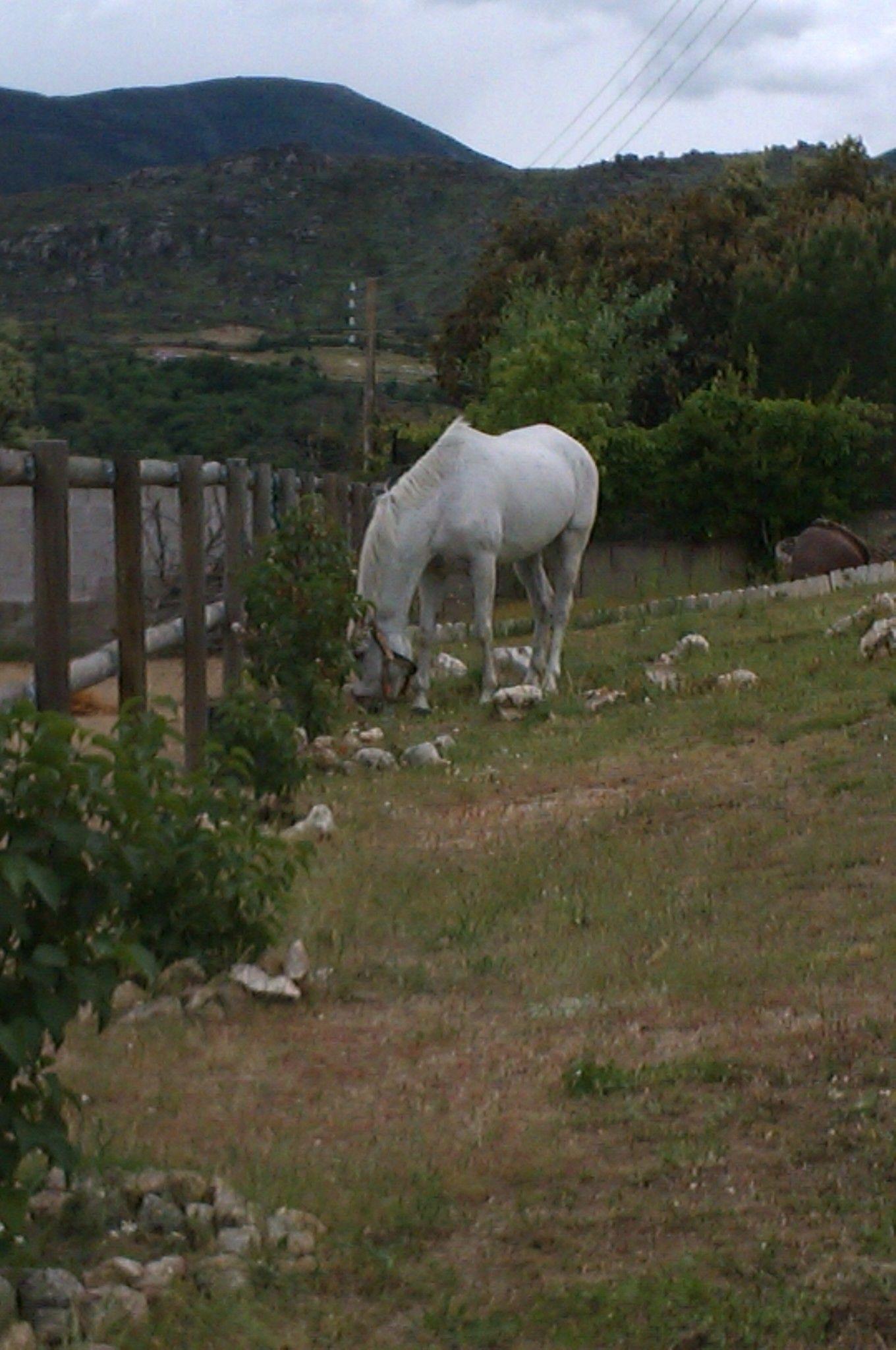 Pastando en Burgohondo