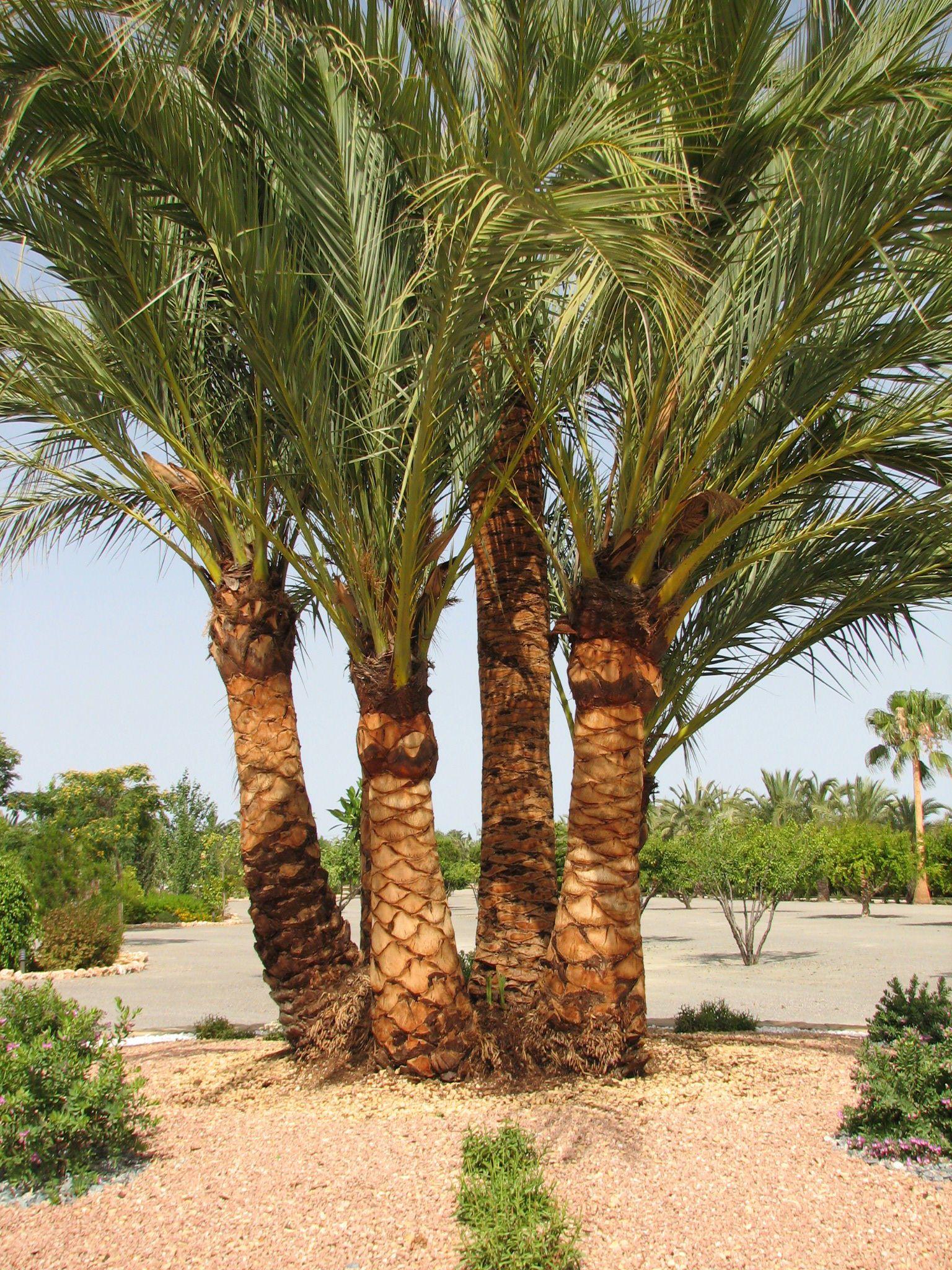 Poda de palmeras Alicante