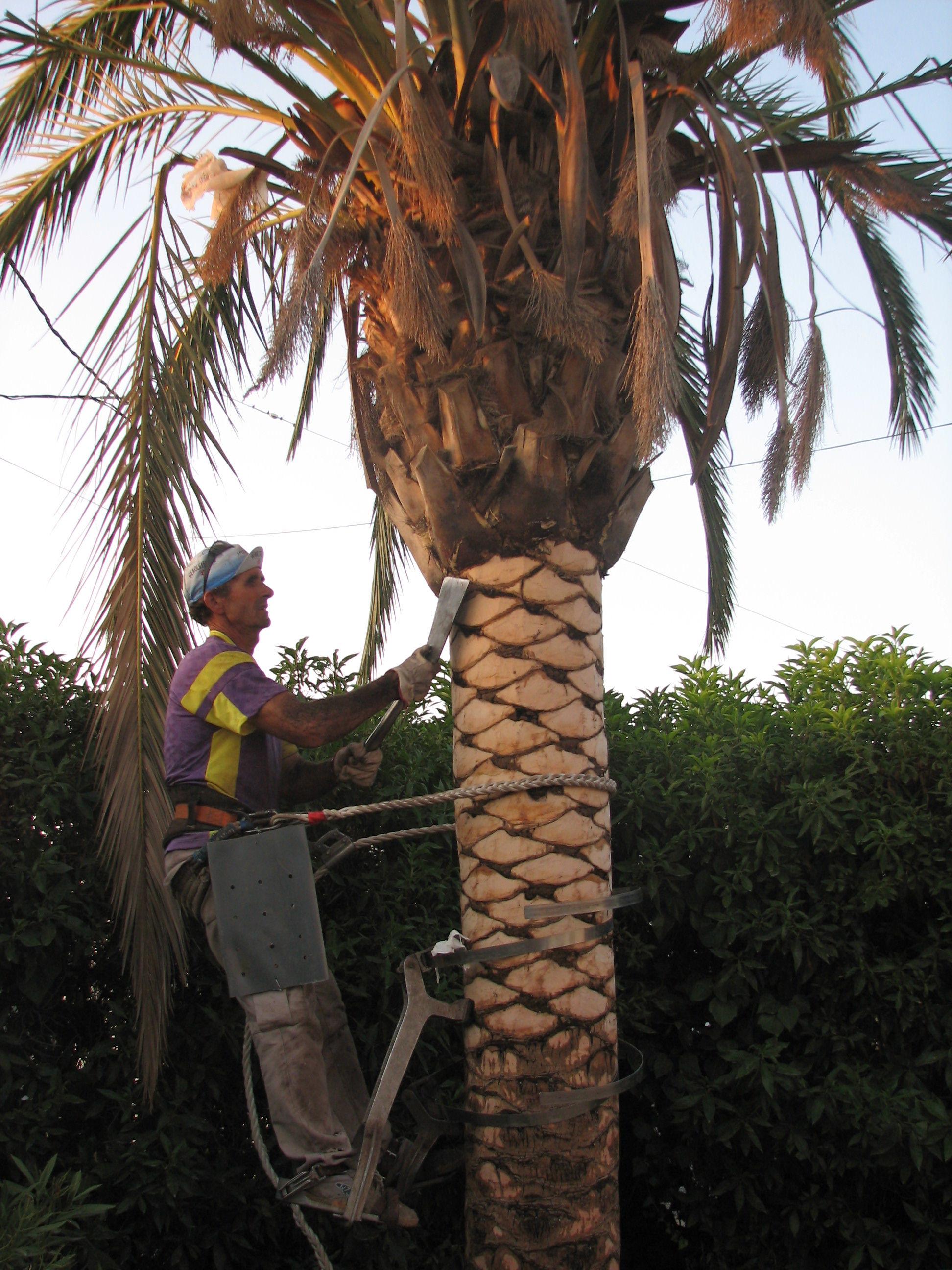 Afeitado de troncos de palmeras