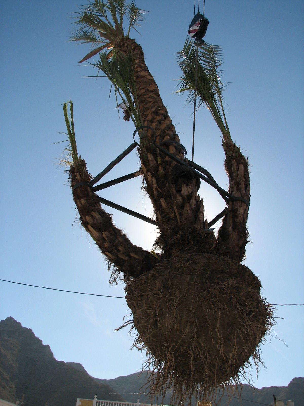 Transplante de palmeras y arbolado