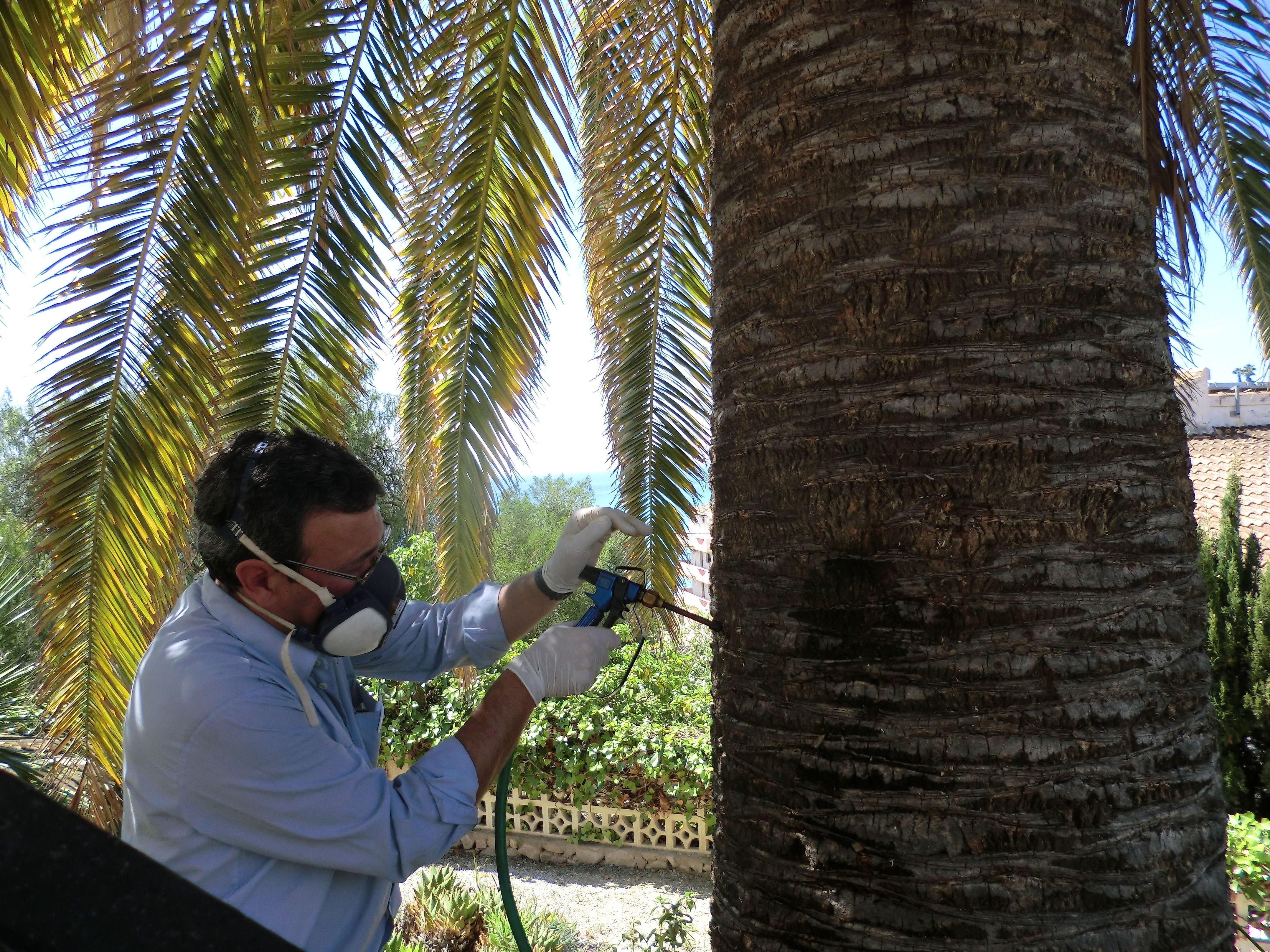 Eliminar picudo rojo de las palmeras