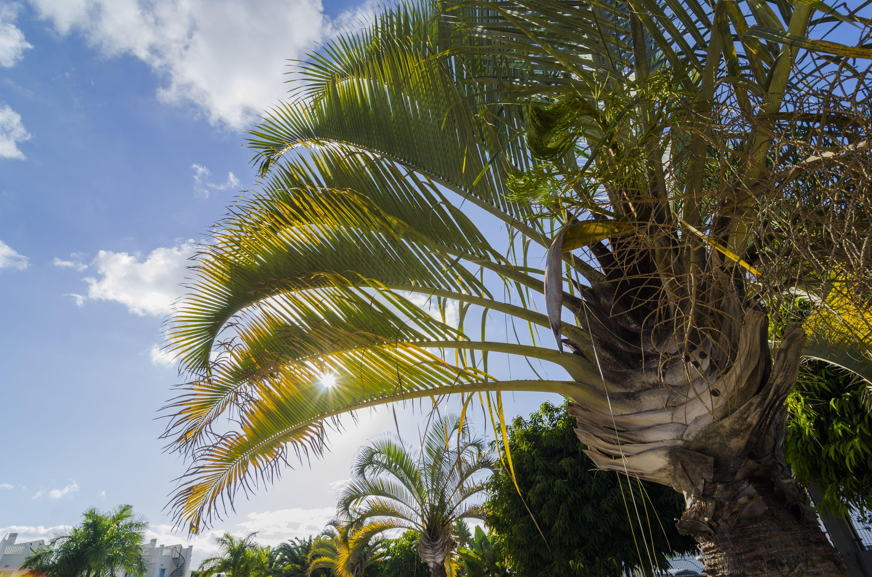 Jardineros especialistas en palmeras