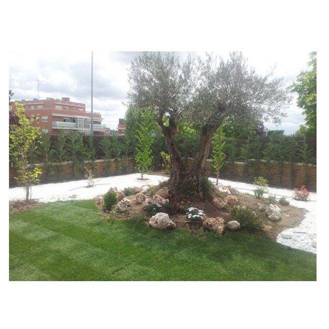 Poda de olivos de jardin