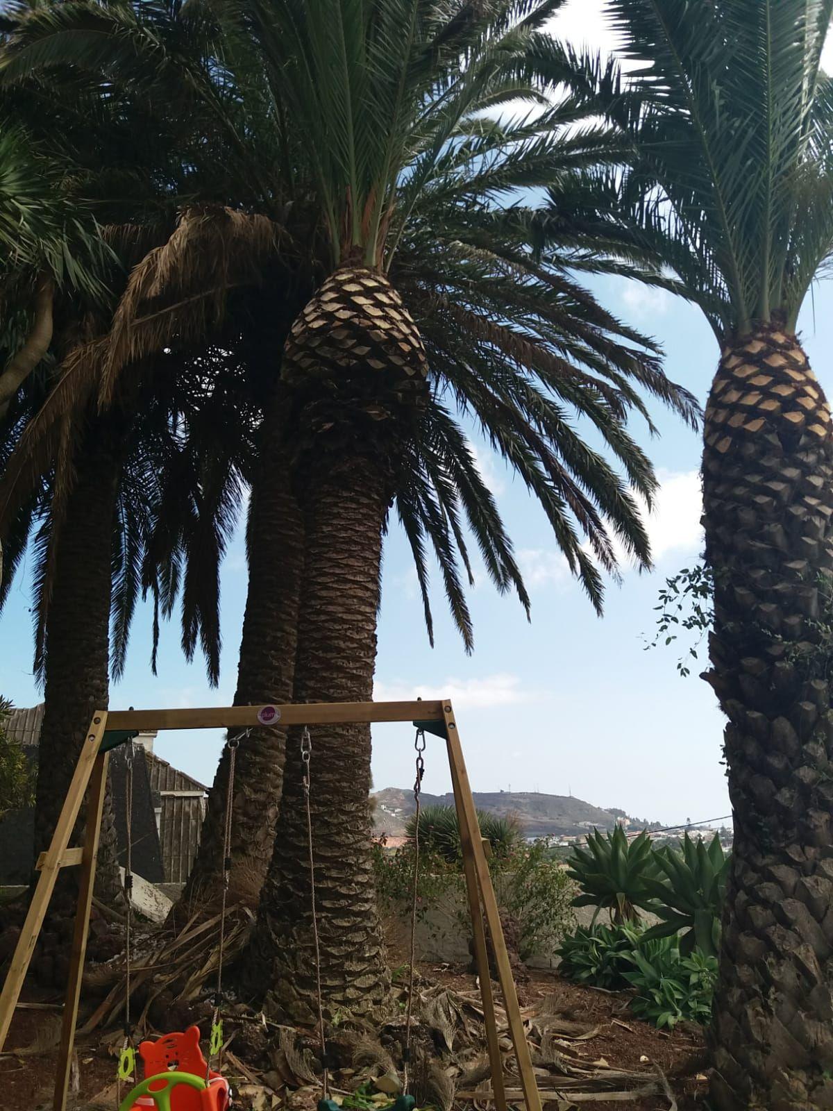 Podas en palmeras: Servicios de GT Verde