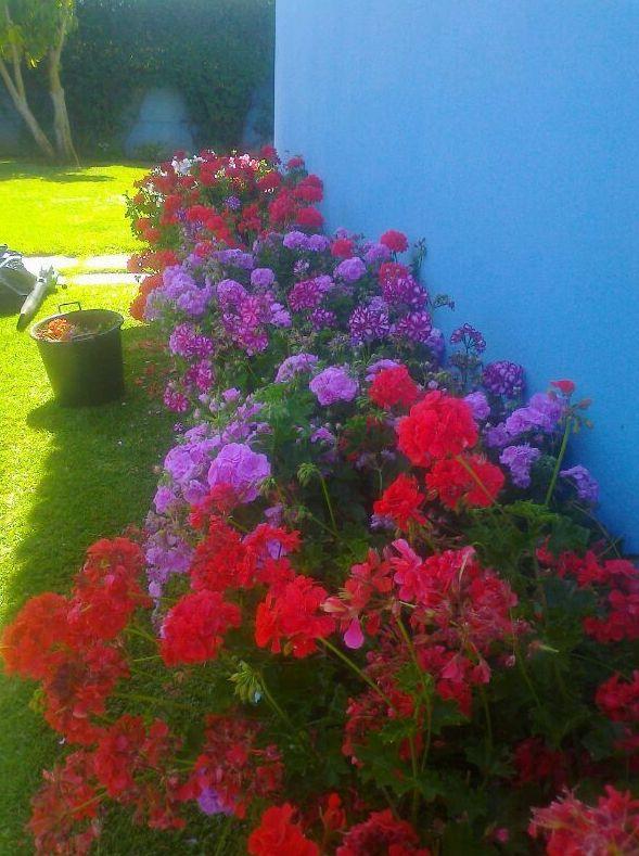 Floración de jardinera de geranios en primavera