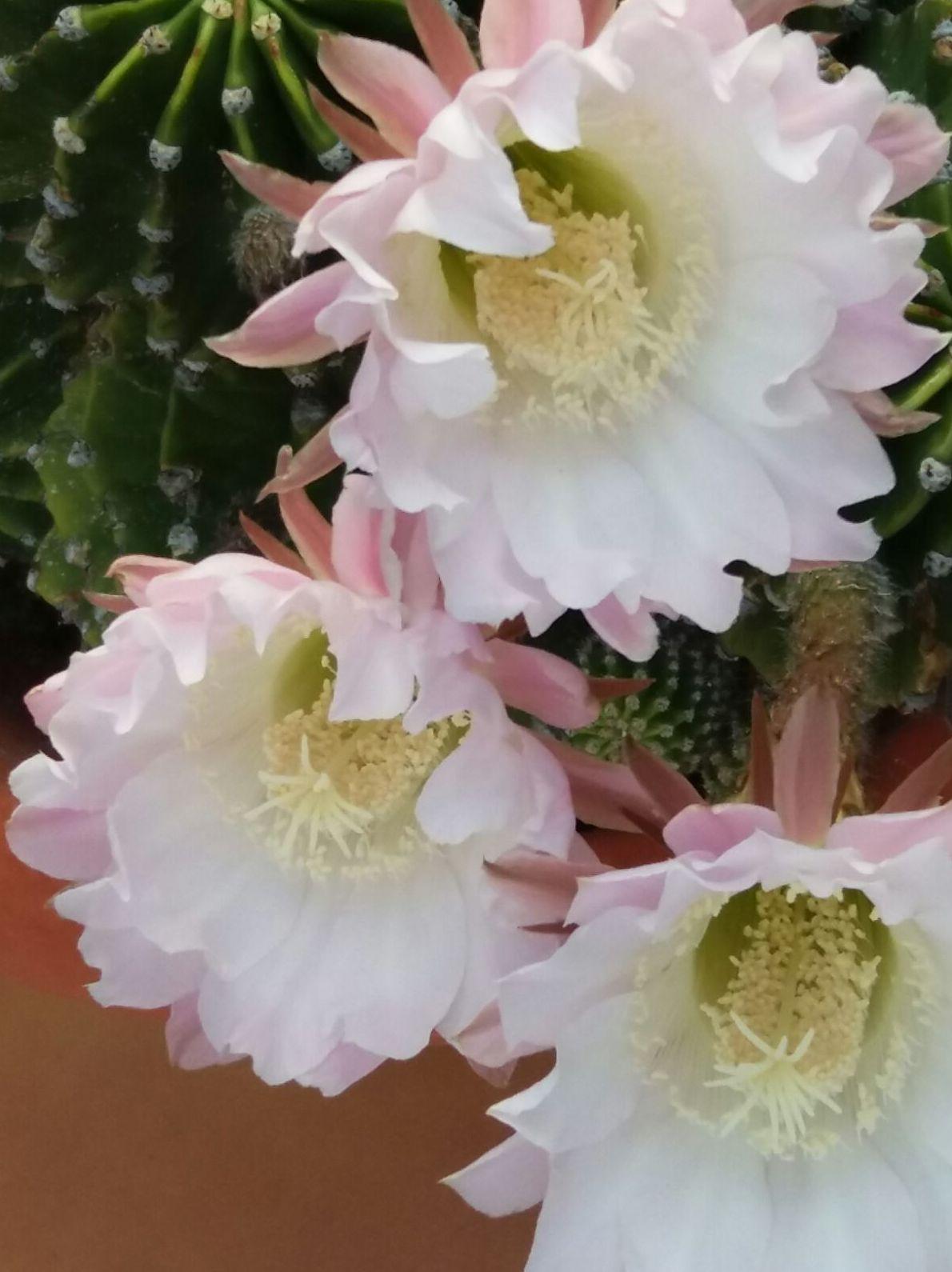 Floración en cactus