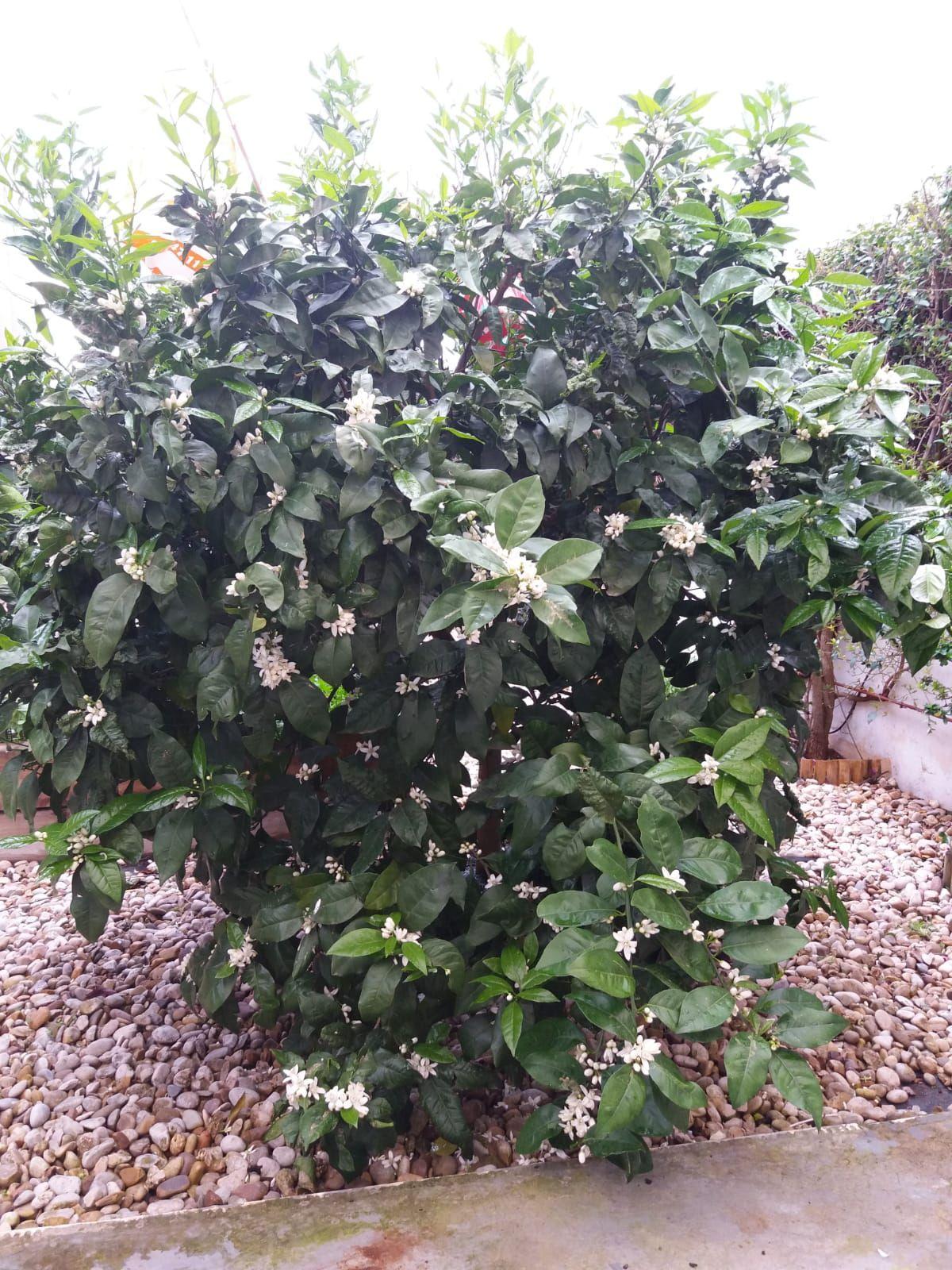 Naranjo en floración: Servicios de GT Verde