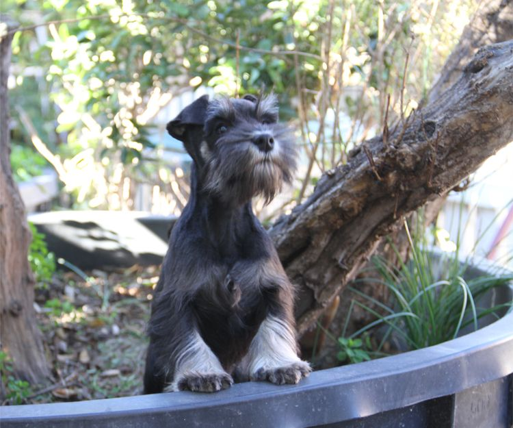 Fox terrier adulto campeón y con pedigrí en Paracuellos del Jarama