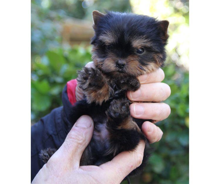 Cachorro de raza yorkshire con pedigrí en Paracuellos del Jarama