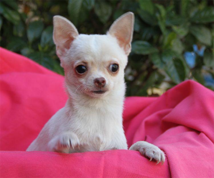 Chihuahua adulto campeón y con pedigrí en Paracuellos del Jarama