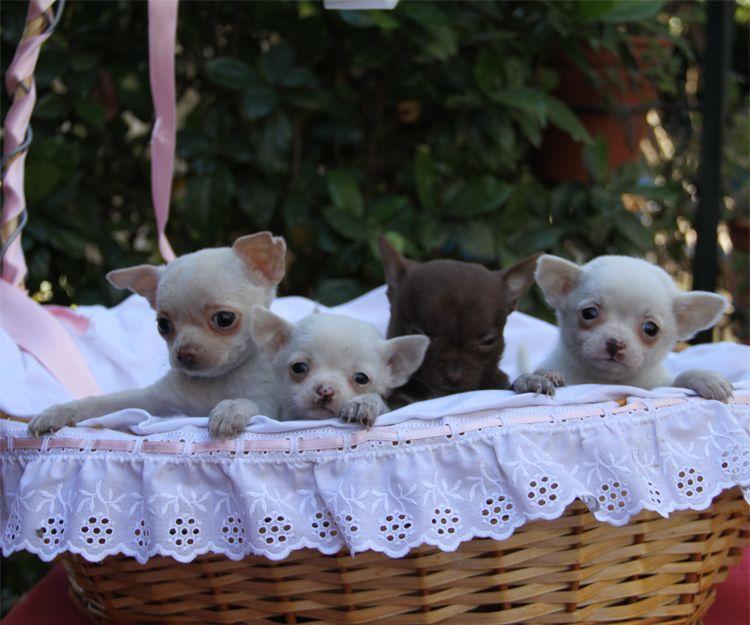 Venta de cachorros raza chihuahua en Paracuellos del Jarama