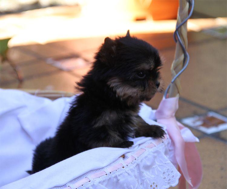 Venta de cachorros de raza yorkshire en Paracuellos del Jarama