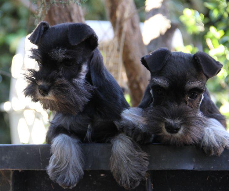 Cachorros de raza fox terrier con pedigrí en Paracuellos del Jarama