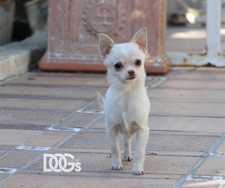Chihuahua campeón y con pedigrí en Paracuellos del Jarama
