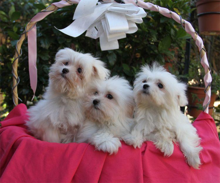 Venta de cachorros de raza pomerania en Paracuellos del Jarama
