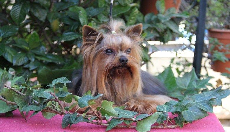 Yorkshire Terrier: Nuestras razas de Altanería