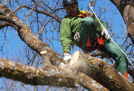 Poda y tala de árboles ejemplares: Servicios de Jardinería Rosich, S.L.