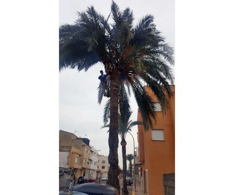 Empresa especializada en poda de palmeras en Oliva