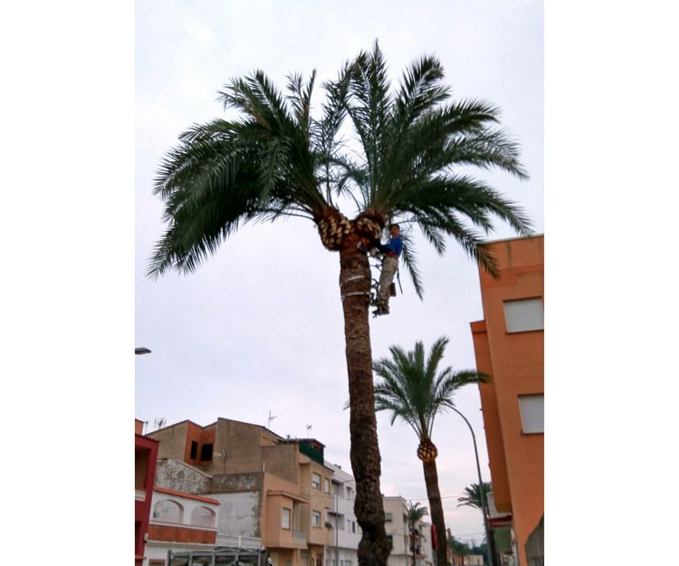 Expertos podadores de palmeras en Gandía