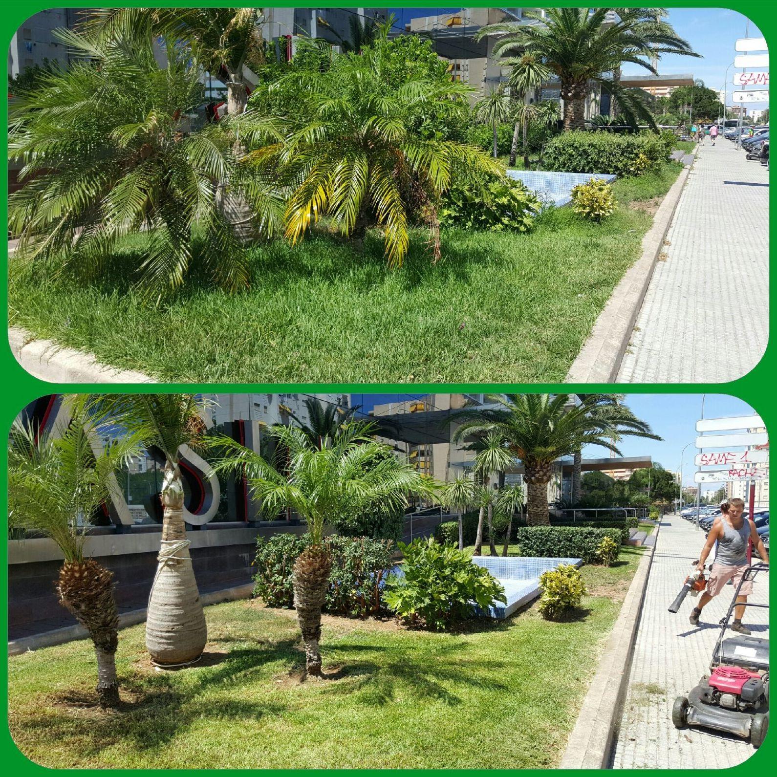 Cuidado de palmeras, poda y control del picudo