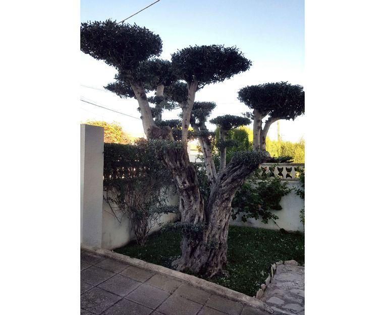 Poda de árboles en Daimuz, Valencia