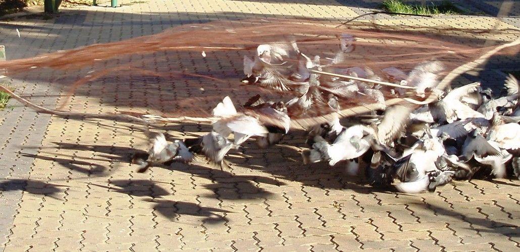 Control de aves en Las Palmas
