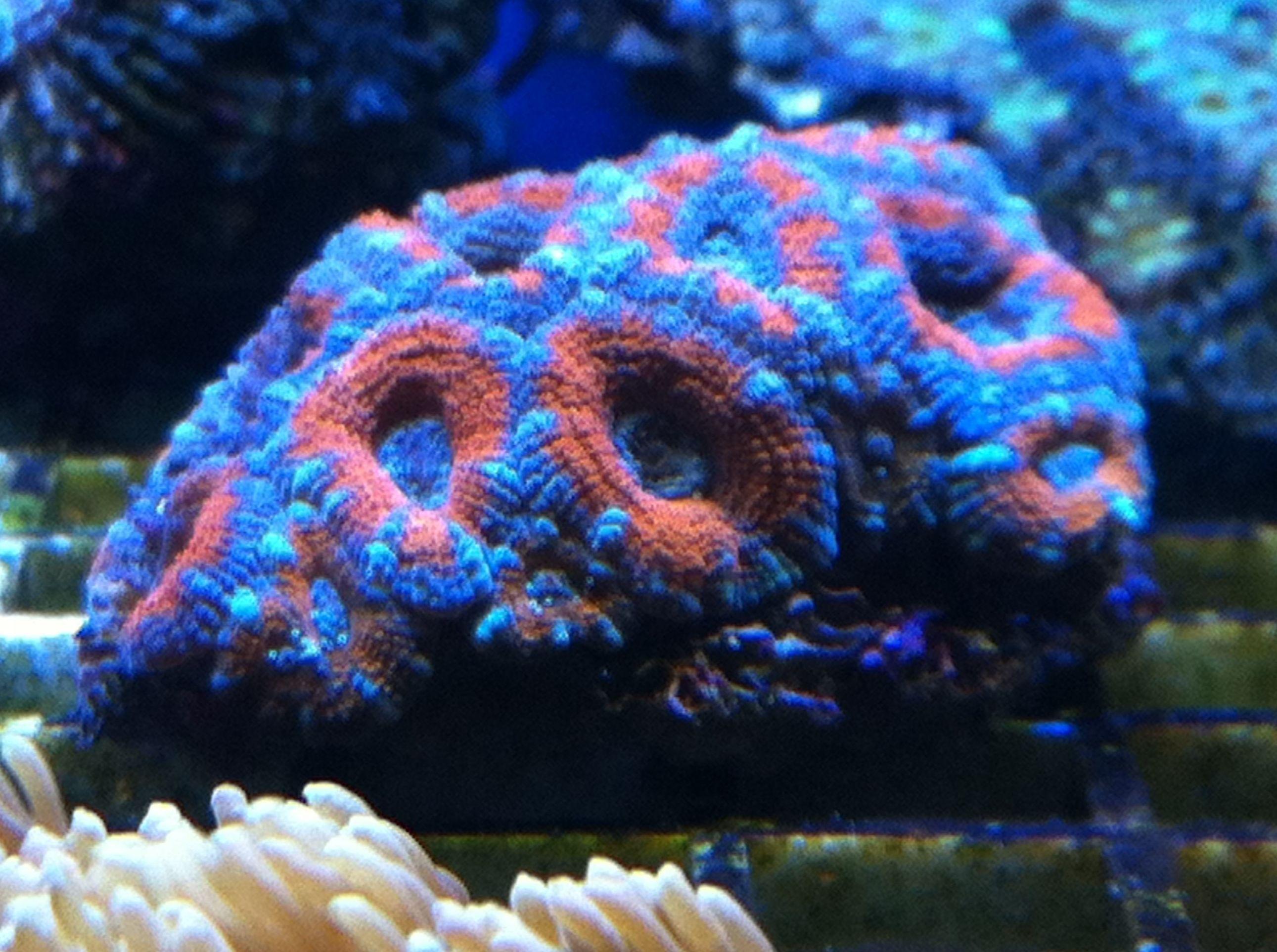 Corales para acuarios