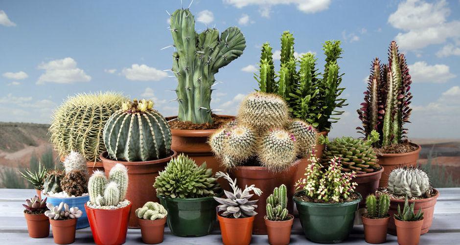 Cactus, protagonistas de los jardines de bajo consumo