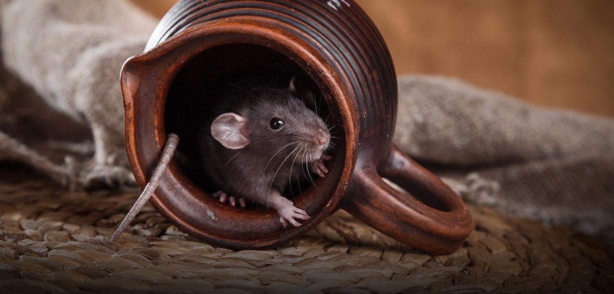 Eliminación de ratas en Cádiz