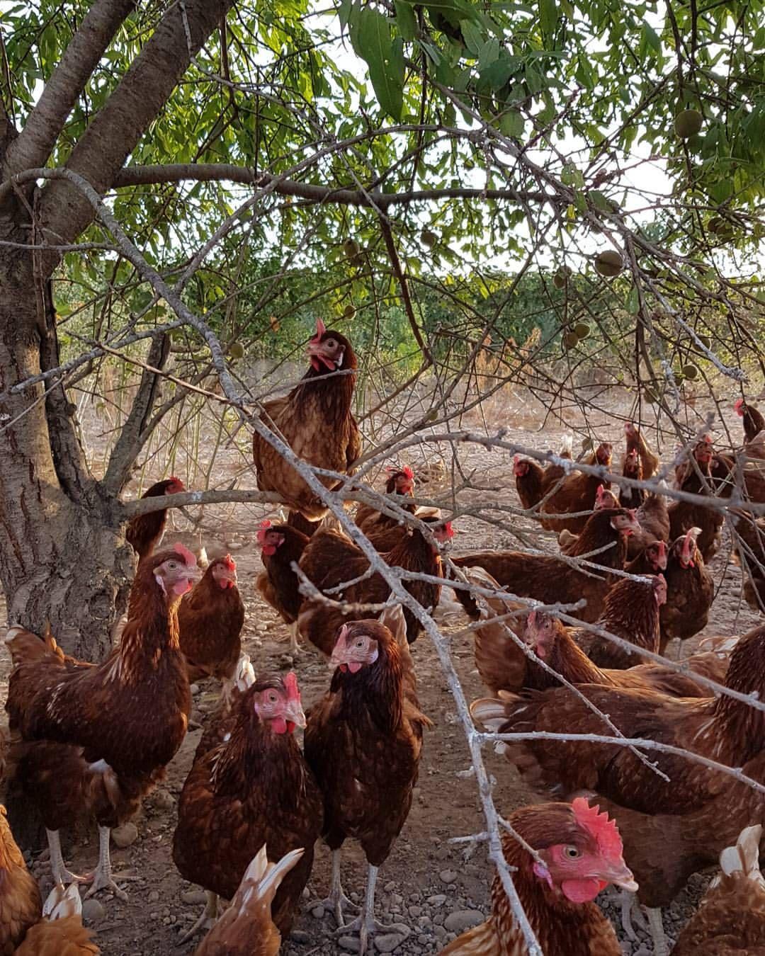 Huevos ecológicos: Productos de El Galliner de la Torrassa