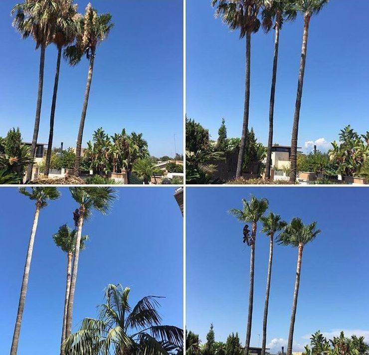 Poda de palmeras  washingtonias robustas
