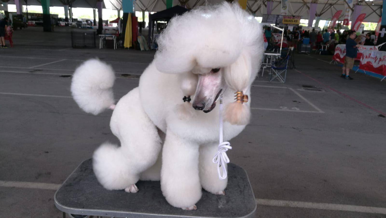 Peluquería canina, especialistas en caniches