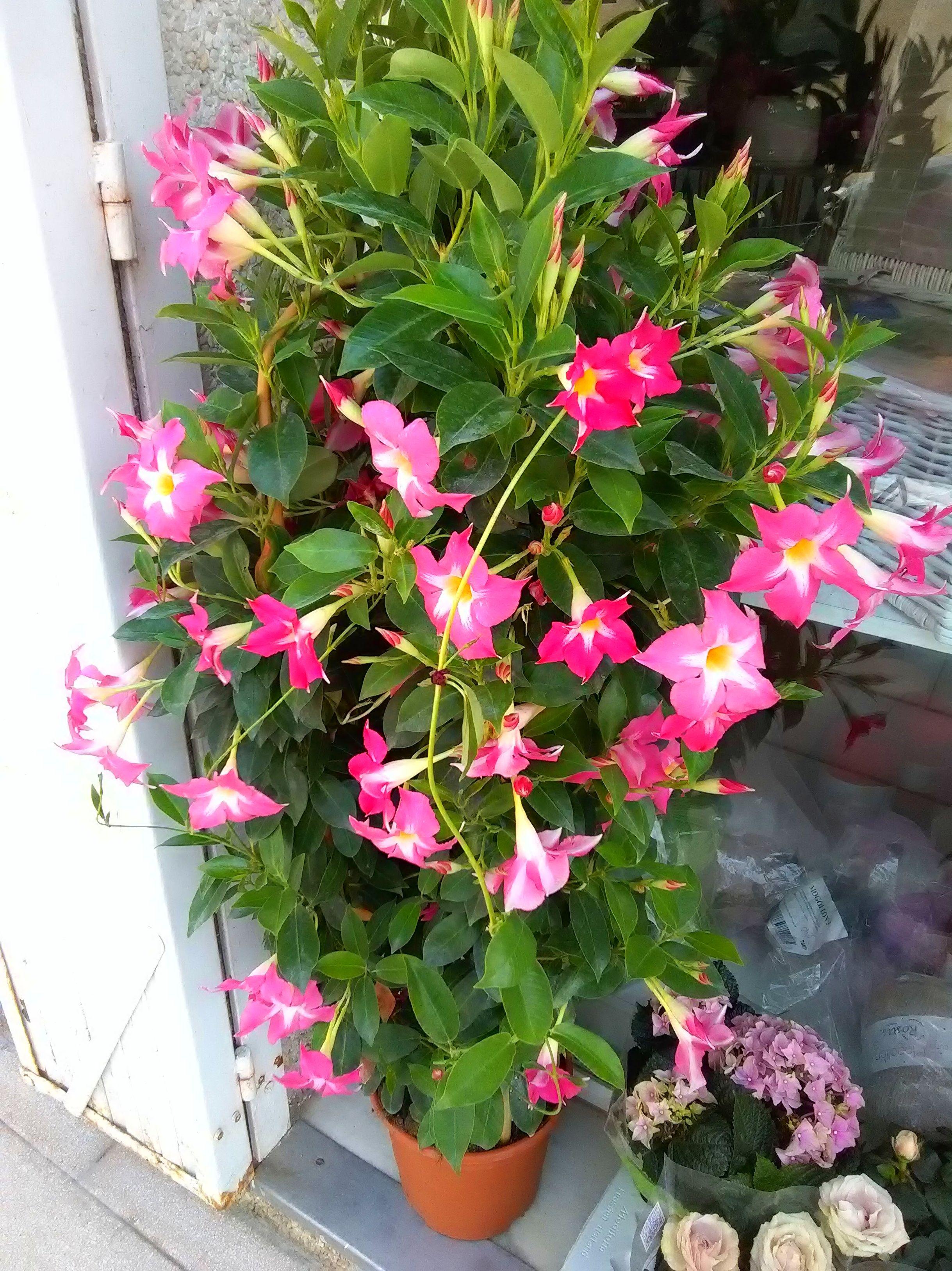Dipladenia. Planta preciosa para tenerla en la terraza o balcón. Ya que le gusta un poco de sol.
