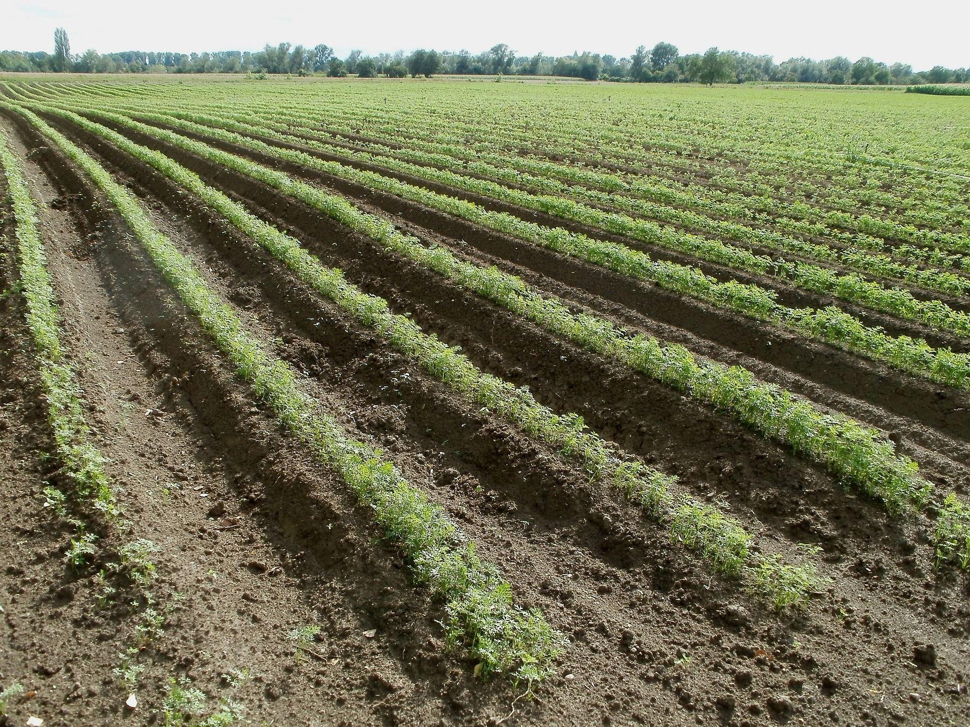 Productores de zanahorias en La Rioja