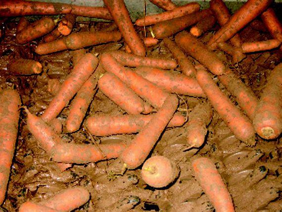 Zanahorias antes del proceso de lavado