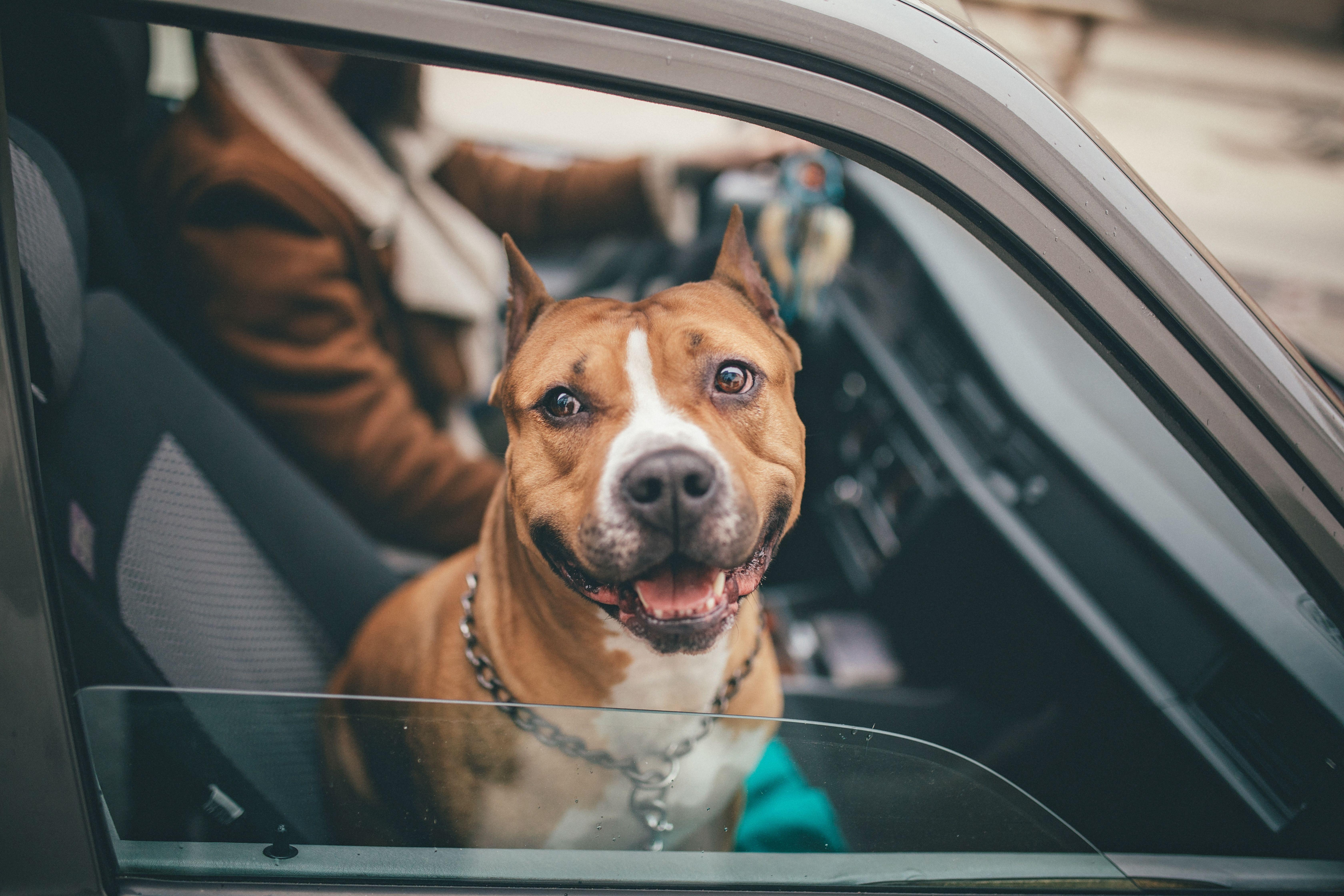 Licencia para la tenencia de perros peligrosos